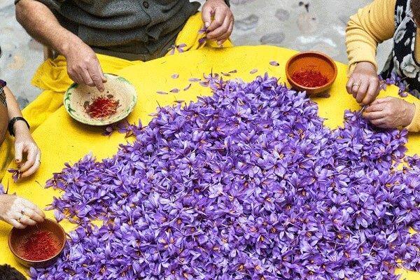 اهدای گل زعفران برای یاری به امامزادگان سرایان