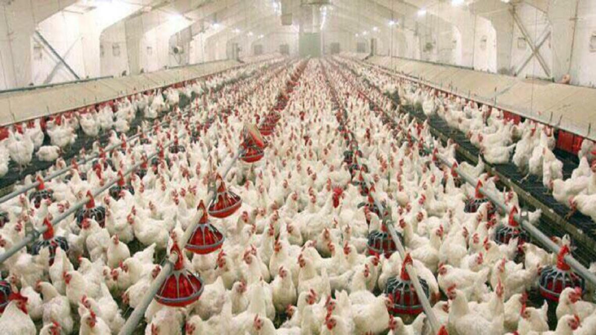 سالن پرورش مرغ گوشتی 15 هزار قطعه ای در راسک افتتاح شد