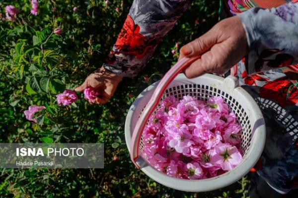 افزایش 7 هکتاری باغات گردو و گل محمدی بهشهر